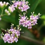 こむらさき(小紫)Callicarpa dichotoma_0 (5)