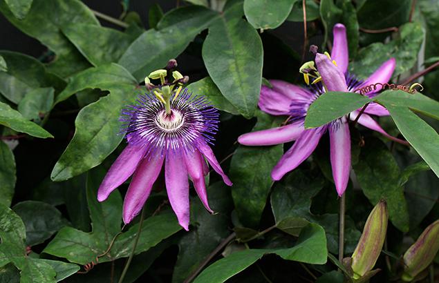とけいそう(時計草)Passiflora caerulea_0 (2)