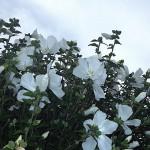 むくげ(木槿)Hibiscus syriacus_0 (2)
