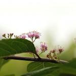 こむらさき(小紫)Callicarpa dichotoma_0 (2)
