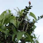 やまのいも(山の芋)Dioscorea japonica_0 (4)