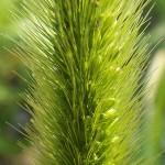 えのころぐさ (狗尾草 )Setaria viridis_0 (4)
