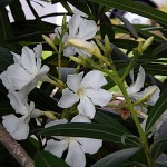 きょうちくとう(夾竹桃)Nerium oleander var. indicum_0 (6)