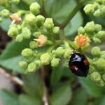 やぶからし(薮芥子)Cayratia japonica_0