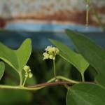やまのいも(山の芋)Dioscorea japonica_0