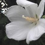 むくげ(木槿)Hibiscus syriacus_0 (3)