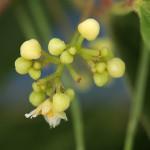 やまのいも(山の芋)Dioscorea japonica_0 (2)