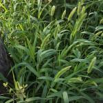 えのころぐさ (狗尾草 )Setaria viridis_0 (3)