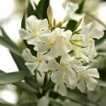 きょうちくとう(夾竹桃)Nerium oleander var. indicum_0 (3)