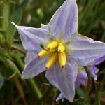 わるなすび(悪茄子)Solanum carolinense _0 (1)