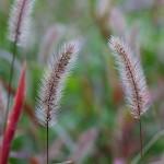 えのころぐさ (狗尾草 )Setaria viridis_0