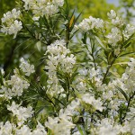 きょうちくとう(夾竹桃)Nerium oleander var. indicum_0 (2)