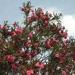 きょうちくとう(夾竹桃)Nerium oleander var. indicum_0 (1)