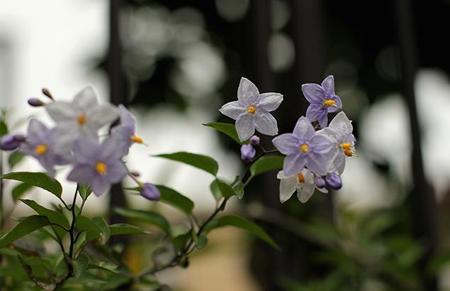 つるはななす(蔓花茄子)Solanum jasminoides_0 (2)