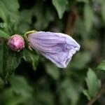 むくげ(木槿)Hibiscus syriacus_0