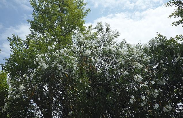 きょうちくとう(夾竹桃)Nerium oleander var. indicum_0 (5)