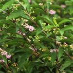 こむらさき(小紫)Callicarpa dichotoma_0 (6)