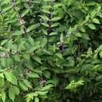 こむらさき(小紫)Callicarpa dichotoma_0 (4)