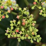 やぶからし(薮芥子)Cayratia japonica_0 (3)