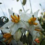 わるなすび(悪茄子)Solanum carolinense _0