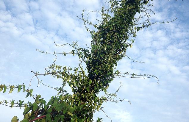 やまのいも(山の芋)Dioscorea japonica_0 (3)