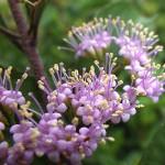 こむらさき(小紫)Callicarpa dichotoma_0 (8)