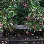 きょうちくとう(夾竹桃)Nerium oleander var. indicum_0