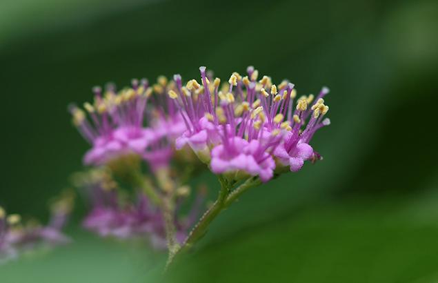 こむらさき(小紫)Callicarpa dichotoma_0 (1)