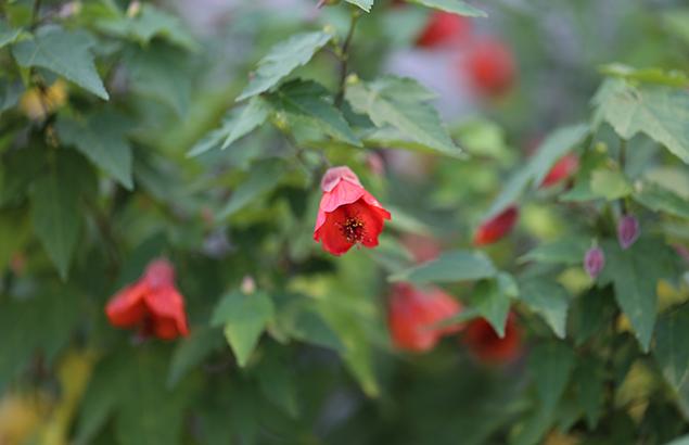 577.Abutilon Dwarf Red_2