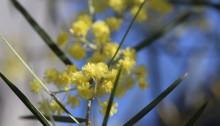 650.Acacia fimbriata_2