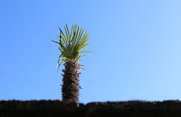 691.シュロ(棕櫚)Trachycarpus fortunei_1