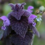 717.ひめおどりこそう(姫踊り子草)Lamium purpureum_2