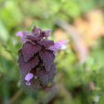 717.ひめおどりこそう(姫踊り子草)Lamium purpureum_3