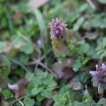 717.ひめおどりこそう(姫踊り子草)Lamium purpureum_5