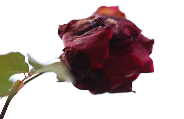 ばら(薔薇)Rosa_1