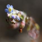 きゅうりくさ(胡瓜草)Trigonotis peduncularis_3
