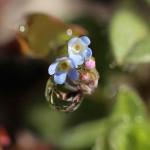 きゅうりくさ(胡瓜草)Trigonotis peduncularis_5