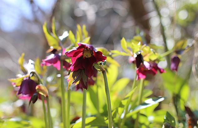 レンテンローズ Helleborus orientalis_1