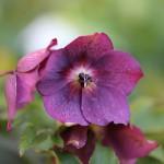 レンテンローズ Helleborus orientalis_2