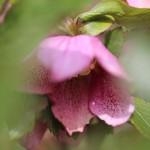レンテンローズ Helleborus orientalis_3