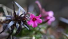 しばざくら(芝桜)Phlox subulata_1