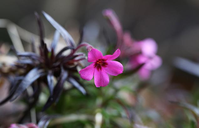 725.しばざくら(芝桜)Phlox subulata_1