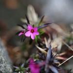 しばざくら(芝桜)Phlox subulata_2