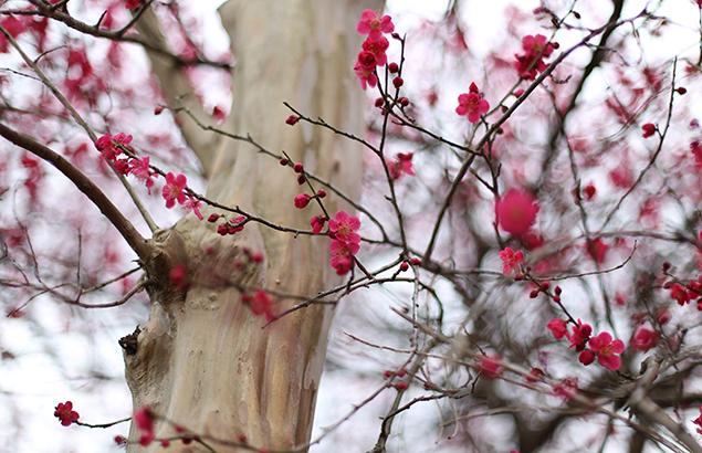 732.うめ(梅)Prunus mume_1