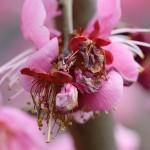 732.うめ(梅)Prunus mume_2