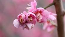 732.うめ(梅)Prunus mume_3