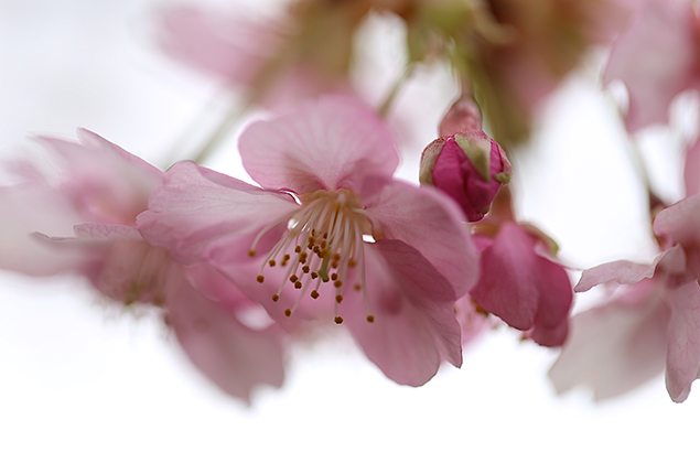 かわずざくら(河津桜 )Cerasus lannesiana Carrière, 1872 'Kawazu-zakura'_1