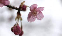 かわずざくら(河津桜 )Cerasus lannesiana Carrière, 1872 'Kawazu-zakura'_2