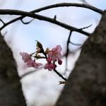 かわずざくら(河津桜 )Cerasus lannesiana Carrière, 1872 'Kawazu-zakura'_5