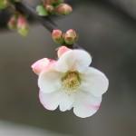 ぼけ(木瓜)Chaenomeles speciosa_1